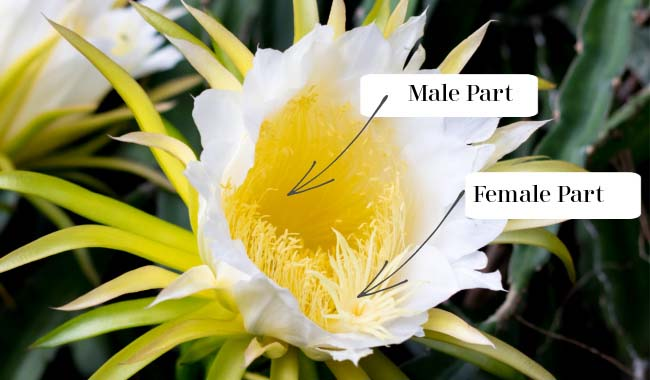 Dragon Fruit Male & Female Parts