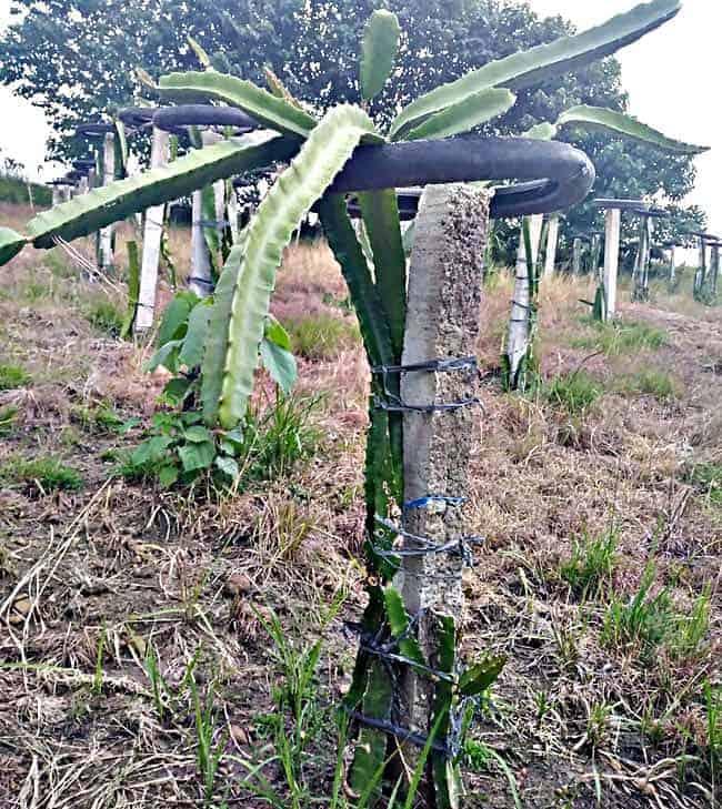 Dragon Fruit Plant Disease