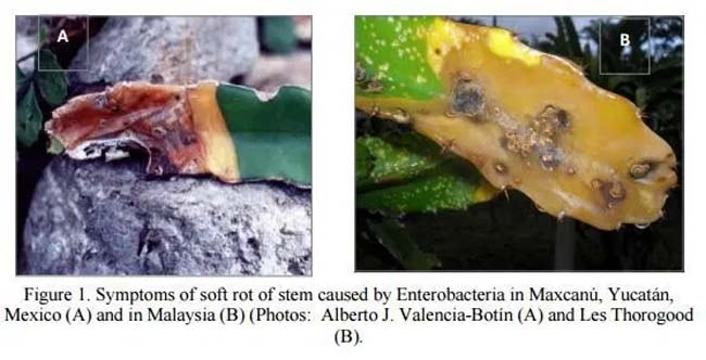 Dragon Fruit Plant Soft Rot