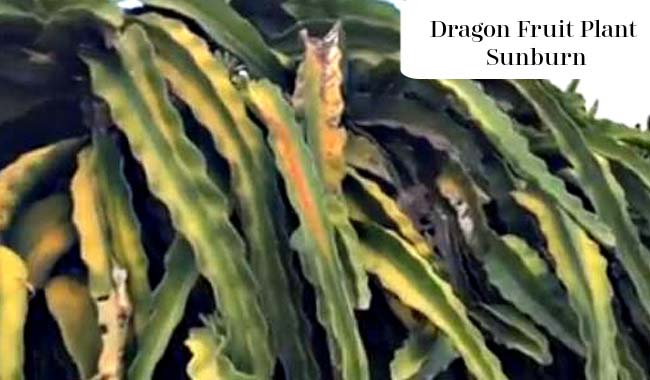 Dragon Fruit Plant Sunburn