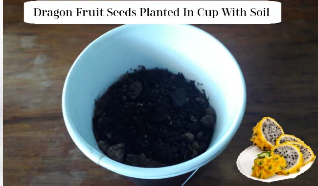 Dragon Fruit Seeds - Grown In Soil
