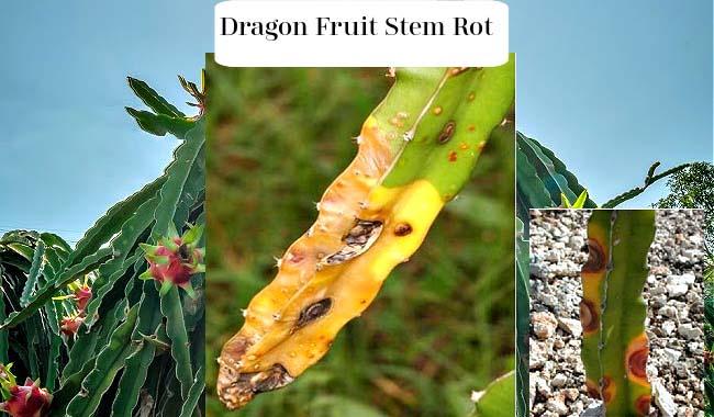 Dragon Fruit Stem Rot Causes - Fungus & Bacteria