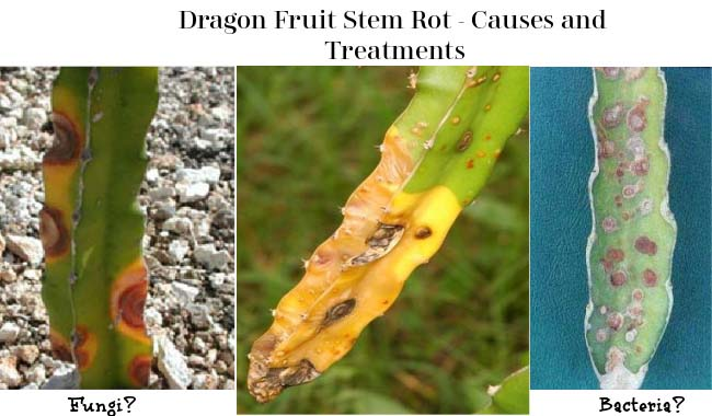 Dragon Fruit Stem Rot 3 Effective Treatments Fruitinformation Com