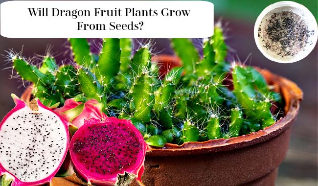 Will Dragon Fruit Grow From Seeds