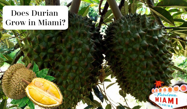 Does Durian Grow in Miami