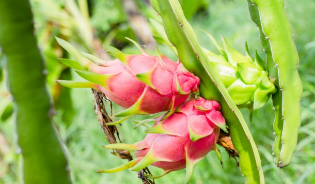 How To Get Dragon Fruit To Bud, Flower and Fruit Quicker