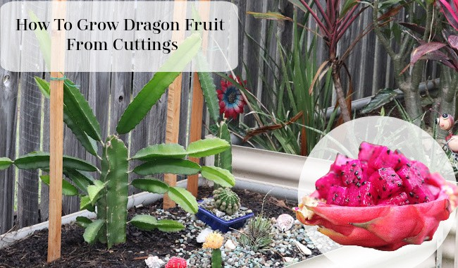 How To Grow dragon Fruit From Cuttings