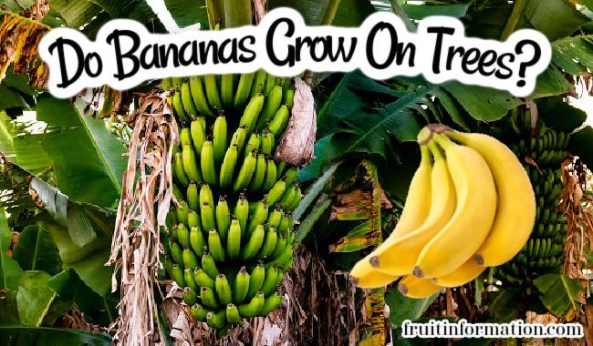 Do Bananas Grow On Trees