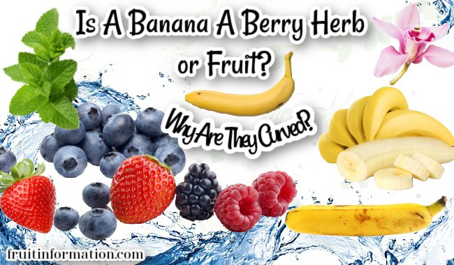 Is A Banana A Berry Herb or Fruit