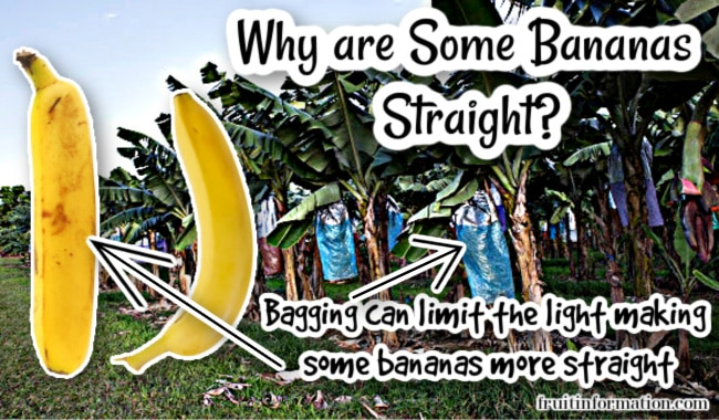 Why Are Some Bananas Straight