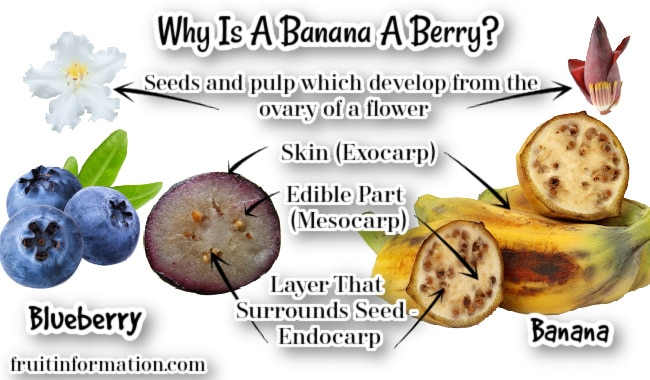 Why Is A Banana A Berry