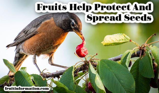 Fruits Help Protect And Spread Seeds