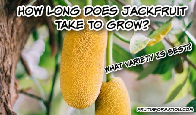 How Long Does Jackfruit Take To Grow