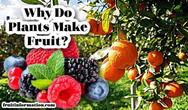 Why Do Plants Make Fruit