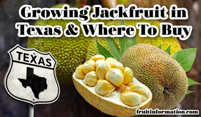 Growing Jackfruit in Texas