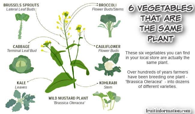 6 Vegetables from Brassica Oleracea